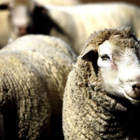How can you herd all the sheep into the slaughter house without them realising and resisting? | Planet Lockdown